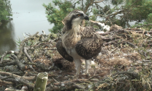 Loch of the Lowes osprey chick 12th July 2013, copyright SWT