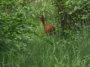 Roe deer at Loch of the Lowes, copyright Douglas Milne