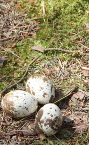 Unhatched Osprey Eggs Loch of the Lowes 2013, copyright SWT
