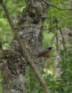 Redstart, Loch of the Lowes, copyright Doulgas Milne