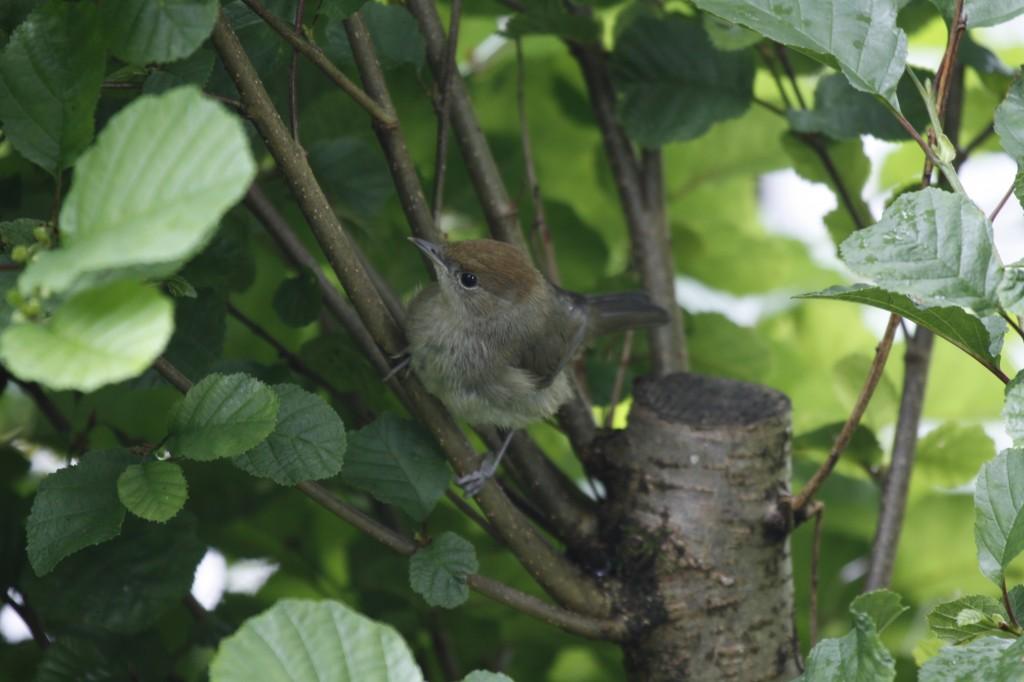 Juvenile female Blackcap