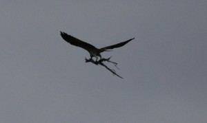 The osprey  male carrying sticks 9.8.13 copyright Val Gall