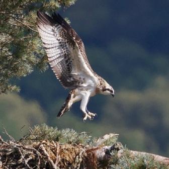 Blue YZ landing on nest - 27.07.13 - copyright Colin Scott