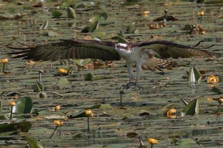 Male Osprey in flight - 19.07.13 - copyright Colin Scott