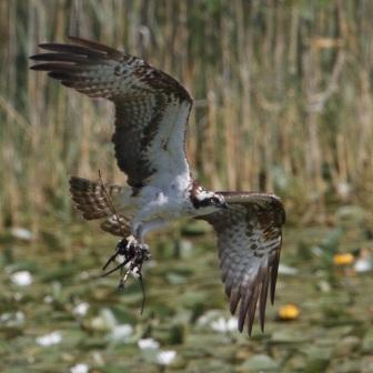 Male Osprey with remains of Grebe nest - 20.7.13 - copyright Colin Scott