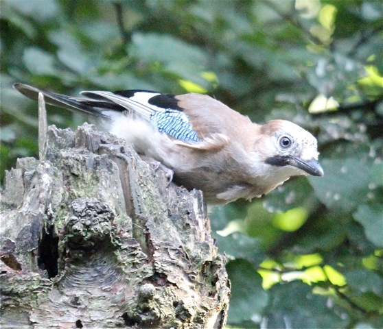 Jays 25.08.13 - copyright Carolyn Taylor