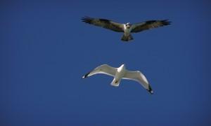 Osprey Vs Gull