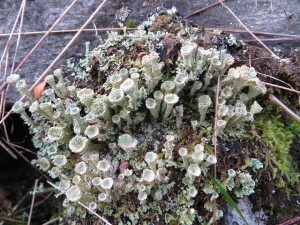 Cladonia spp (probably borealis)
