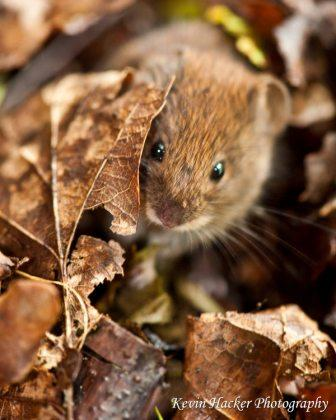 Vole by Kevin Hacker- copyright