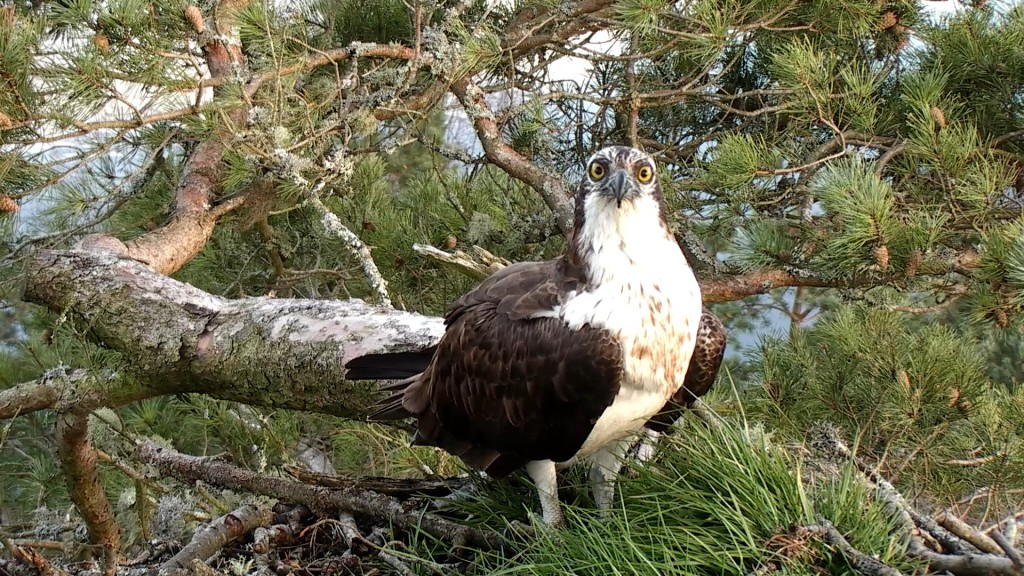 Male osprey at Loch of the Lowes march 2014- Copyright SWT