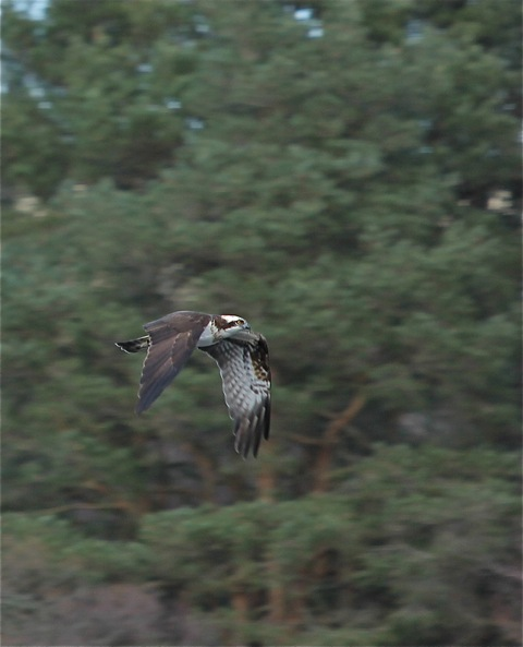 Our male osprey by Carolyn Taylor March 2014