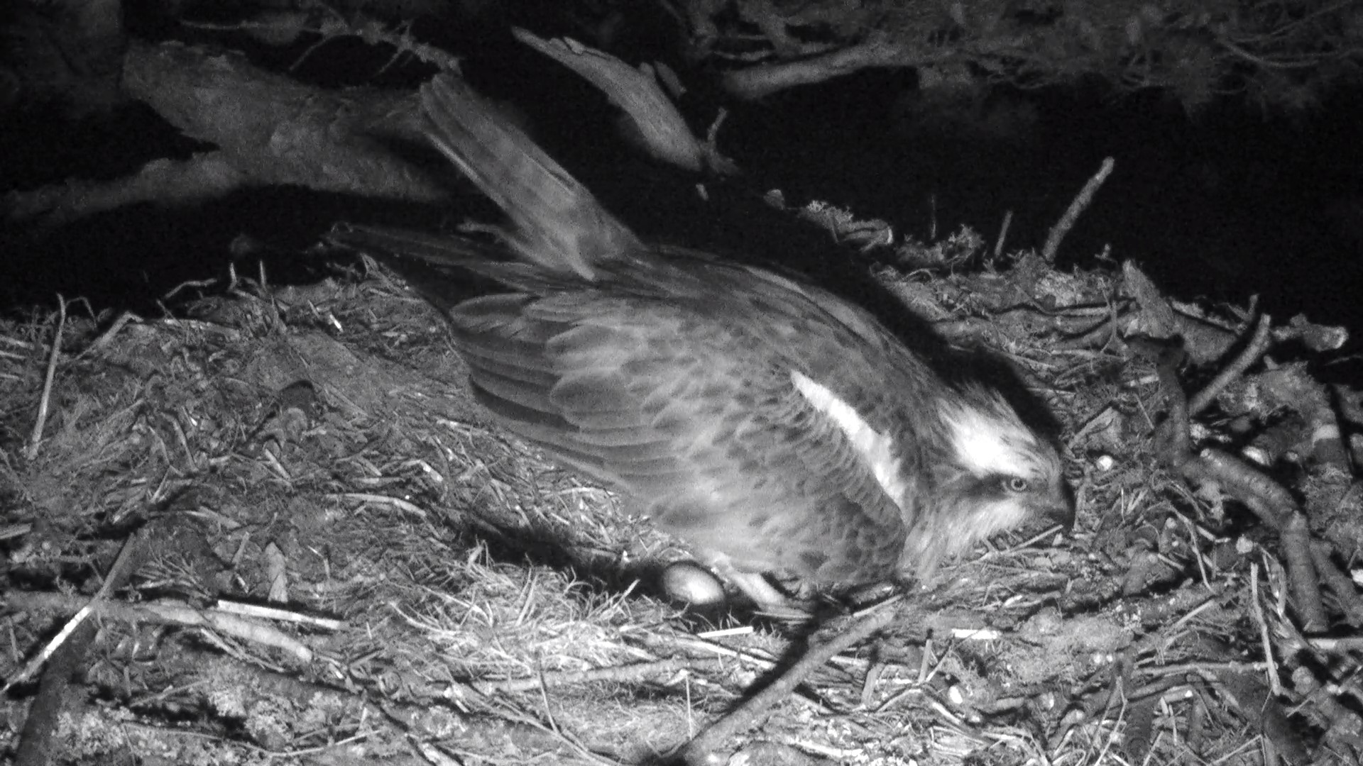 First Osprey egg of the 2014 season at Loch of the Lowes- copyright SWT