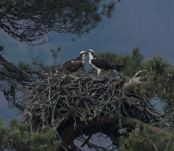 Osprey pair at Loch of the Lowes 2014 - copyright Val Gall