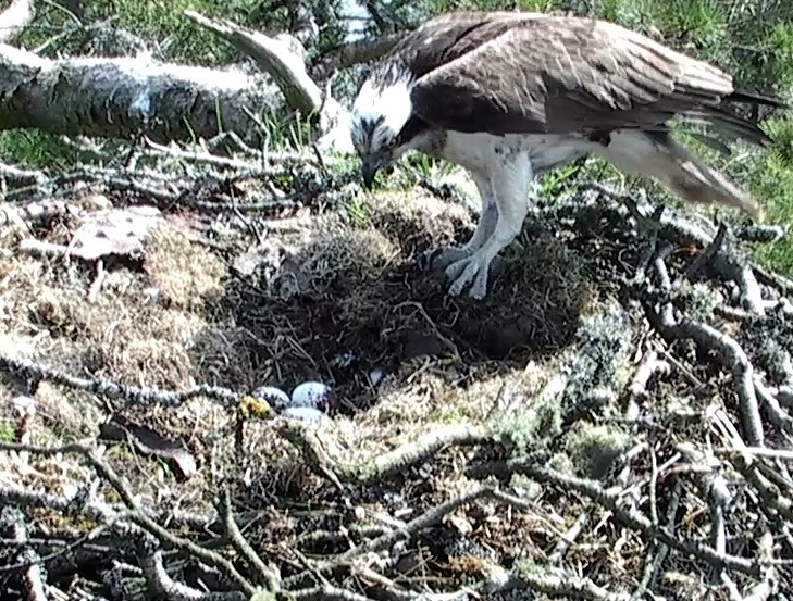 3rd egg male Osprey
