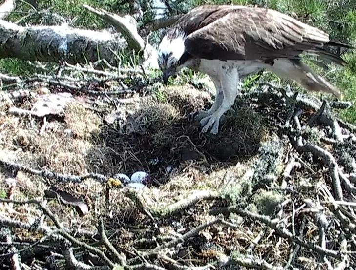 3rd egg male Osprey
