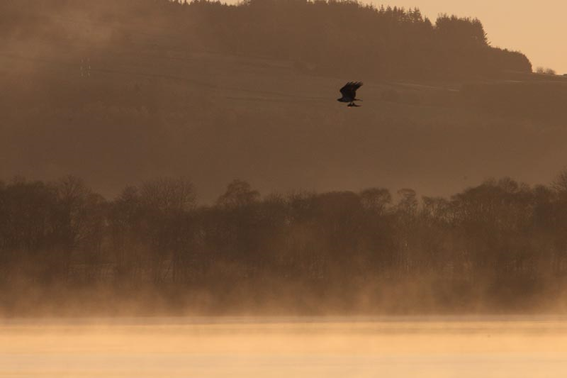 Osprey at Loch of the Lowes by Phil Hannah- copyright.