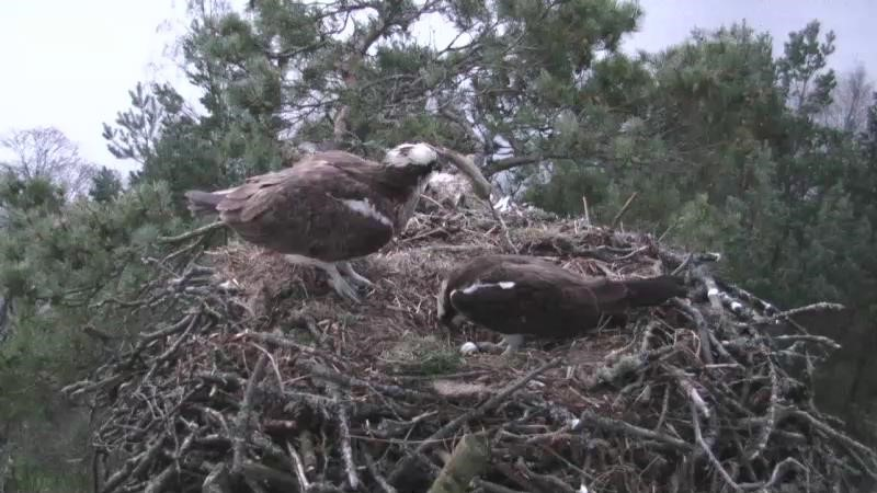 Proud New osprey dad- 13th April, SWT