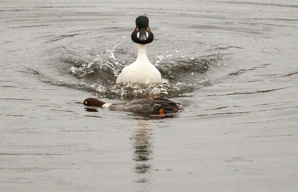 Goldeneye Ducks- copyright Ray Leinster
