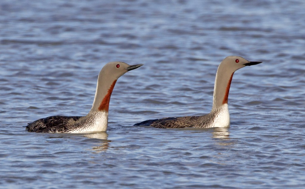 Library photo of Red throated divers, courtesy of Wild About Britain website.