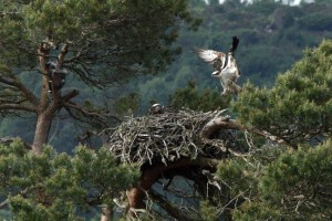 The Osprey Nest at Loch of the Lowes- copyright SWT