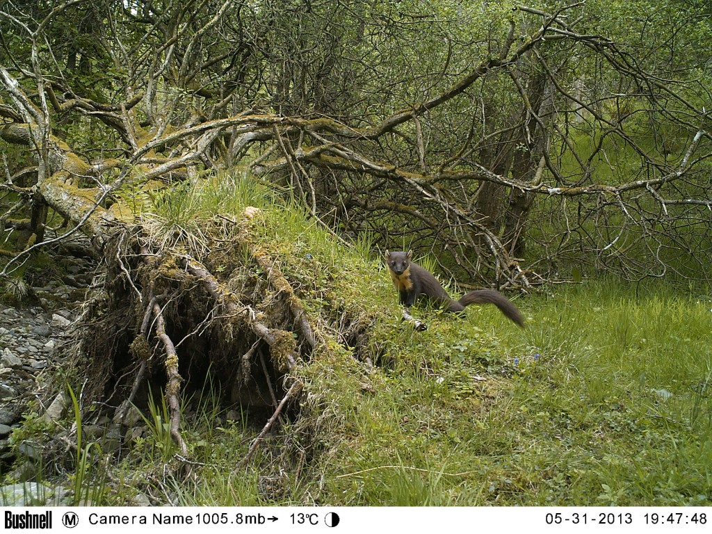 Camera Trap Photo of a Pine Marten SWT Perthshire