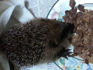 A young hedgehog rescued on the reserve last year © Scottish Wildlife Trust