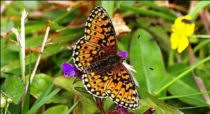 Small Bordered Fritillary Butterfly