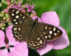 A Speckled wood butterfly