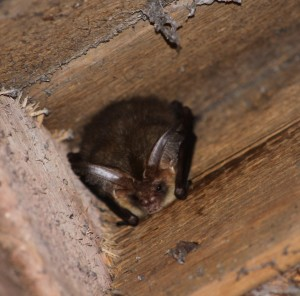 Brown Long Eared bat found roosting in an attic in the Scottish Borders