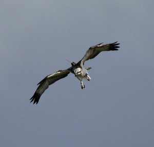 A satellite tracking aerial on a young osprey- SWT