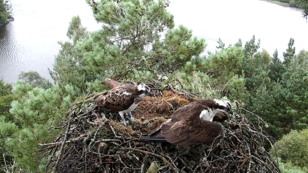 Intruder Bird AJ1 on the Lowes nest 11th August 2014- copyright SWT