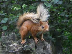 Red Squirrel- copyright SWT