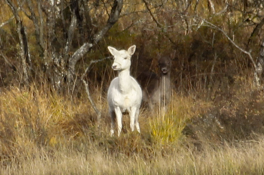 One of Loch of the Lowes more unusual visitors - White hind Fallow Deer