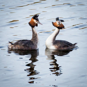 Displaying Great Crested Grebes © Ron Walsh