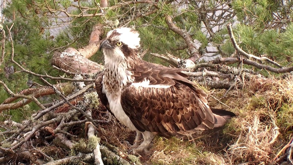 The New Female at Loch of the Lowes © Scottish Wildlife Trust
