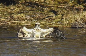 Osprey bathing at Loch of the Lowes ©Marian Moore