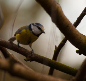 A beautiful blue tit © Will Smith