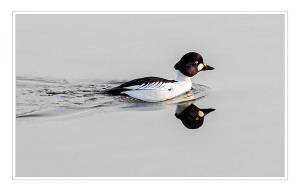 One of our stunning male Goldeneye © Ron Walsh