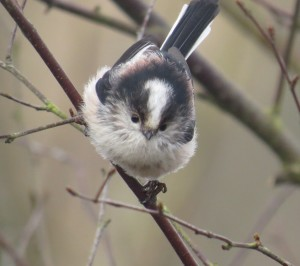 A Lovely Long-Tailed Tit © Dennis Buchan