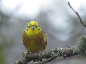 A beautifully bright male Yellowhammer © Dennis Buchan