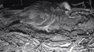First osprey egg at Loch of the Lowes 2015 © Scottish Wildlife Trust