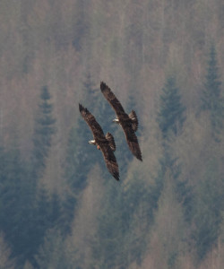 Both female intruders take flight in formation. © Val Gall.