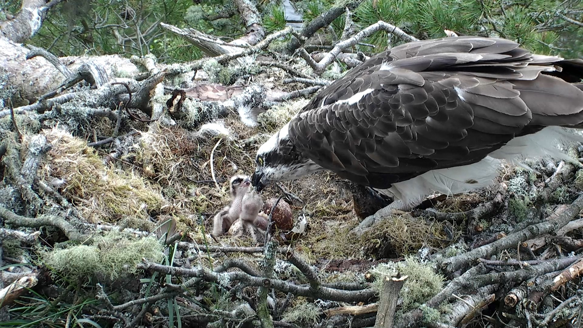Our pair of chicks successfully feeding © Scottish Wildlife Trust