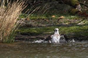 Female osprey bathing © Phil Hannah