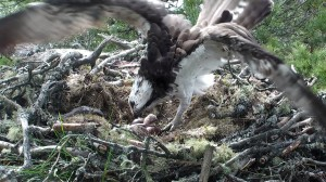 First chick at Loch of the Lowes © Scottish Wildlife Trust