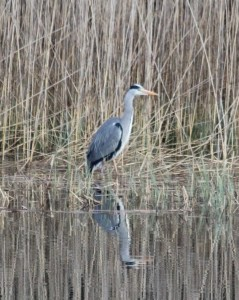 Grey heron at Loch of the Lowes © Doris McLean