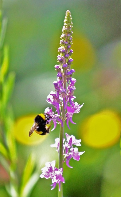 Bee  feeding on orchid © Brian Taylor