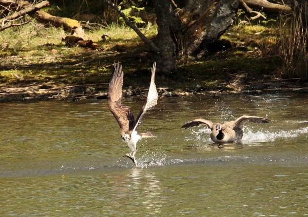Successful fishing by Lowes male osprey and very surprised Canada Goose! Photo copyright Lisa Waters