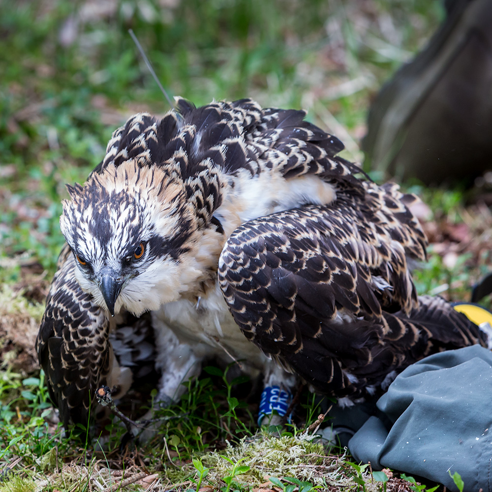 Chick FR3 successfully ringed and tagged at Loch of the Lowes © Alba Landscapes - Ron Walsh