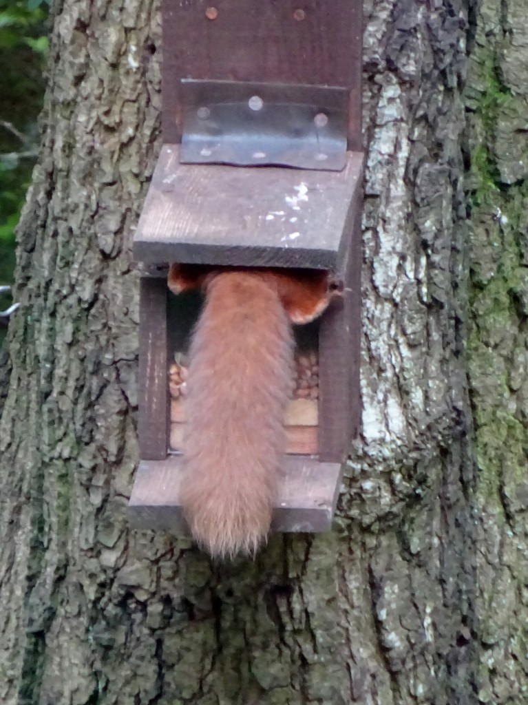A red squirrel making the most of the feeder!